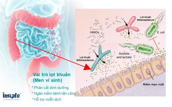 Vai trò của lợi khuẩn trong đường tiêu hóa