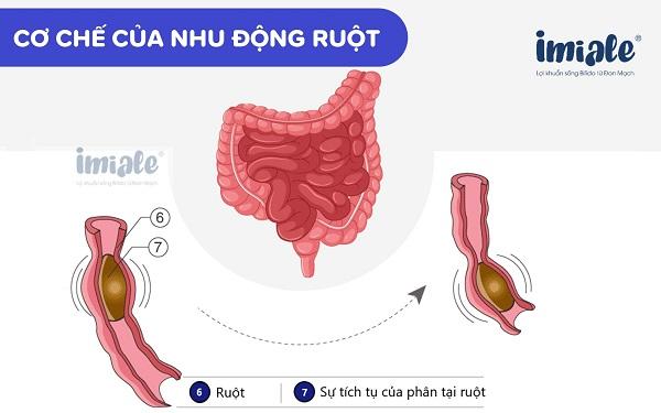 cơ chế của nhu động ruột